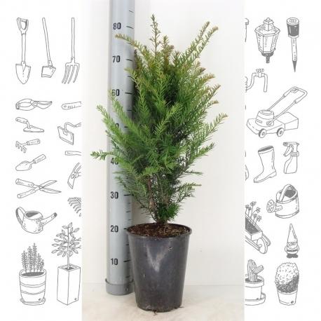 Taxus Baccata - heimische Eibe 50-60