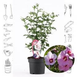 Hibiskus 30-40 Rosa