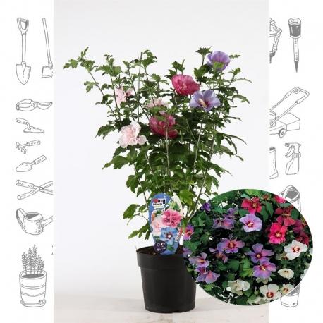 Hibiskus 30-40 Tricolour - Dreifärbig