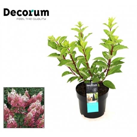 Hortensie Hydrangea Paniculata pink - Pinky Winky