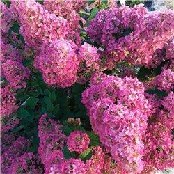 Hortensie Hydrangea Paniculata Rosa - Sundae Fraise
