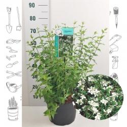 Philadelphus - Gartenjasmin Lemoinei weiss 7,5l