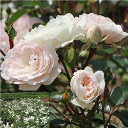 Bodendeckerrose weiß 'Sea Foam' 30+cm, Bodendecker Rose Sea