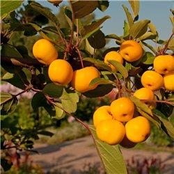 Zier-Apfel gelb 'Golden Hornet'