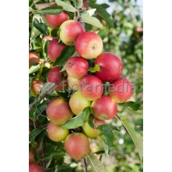 Apfel 'Discovery', Malus dom. 'Discovery', Apfel 'Discovery'