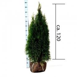 Smaragdthuje 100-120cm am Ballen, Smaragdthuje 100-125