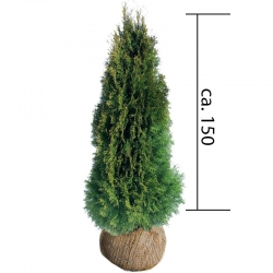 Smaragdthuje 125-150 Ballenware