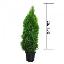 Smaragdthuje 125-150cm im Topf, Smaragdthujen 125-150