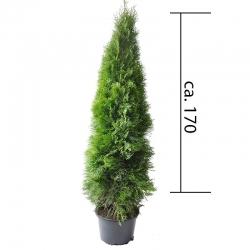 Smaragdthuje 150-170cm im Topf, Smaragdthuje 150-175