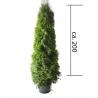 Smaragdthuje 175-200