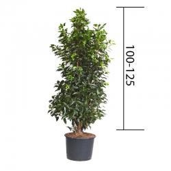 Portugiesische Lorbeerkirsche 'Angustifolia' - 100-125cm