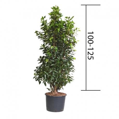 portugiesische lorbeerkirsche 39 angustifolia 39 125 150 cm kaufen. Black Bedroom Furniture Sets. Home Design Ideas