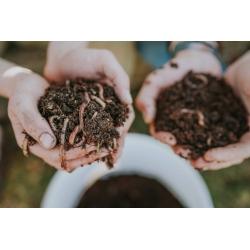 Startpopulation Kompostwürmer (500Stk)