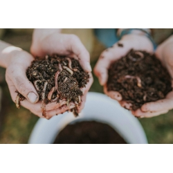 Startpopulation Kompostwürmer (1000Stk), Kompostwürmer