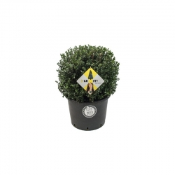 Berg-Ilex 'Dark Green' Kugel 30-35cm