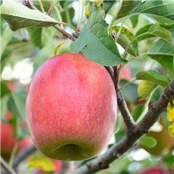 Apfel 'Schafnase'