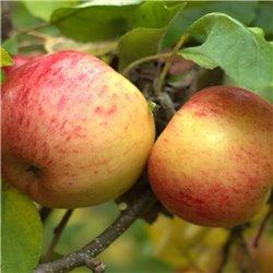 Apfel 'Topaz' Halbstamm C10, APFELBAUM MIT ZUSTELLUNG, ROBUSTE
