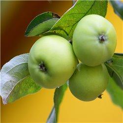 Apfel 'Weißer Klarapfel' Halbstamm, APFEL MIT GRÜNER SCHALE