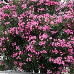 Oleander rot 80-100cm