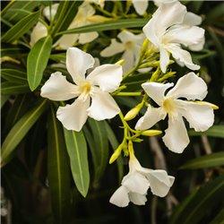 Oleander weiss 80-100cm