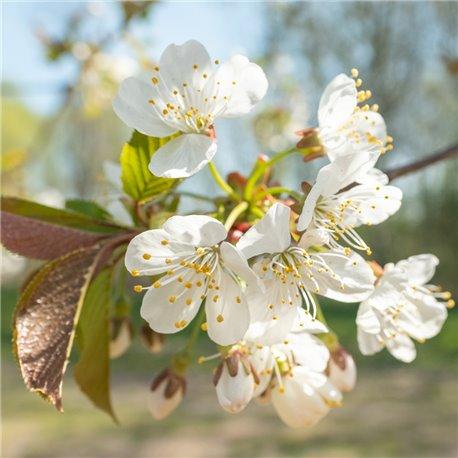 Süßkirsche 'Schneiders späte' Spalier, Herzkirsche, Prunus av.