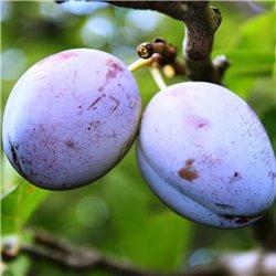 Zwetschke 'Ersinger Frühzwetschke' Hochstamm C12, Prunus dom.