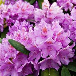 Rhododendron lila 30-40cm C5, Rhododendron günstig kaufen mit