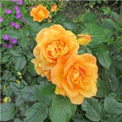 Beetrose 'Bernstein Rose' C5, Rosen aus Österreich bestellen
