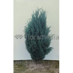 Blaue Gartenscheinzypresse  'Van Pelt's Blue' 60-80cm