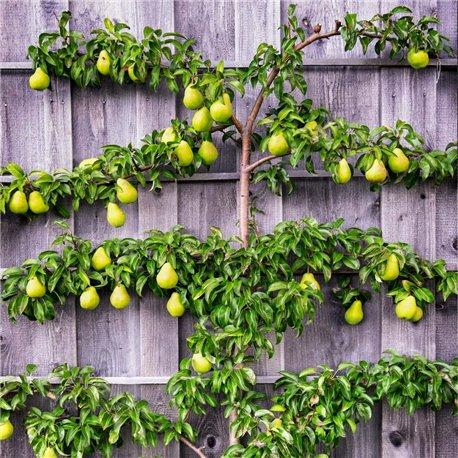 Spalier-Birne 'Williams Christbirne', Birnenbaum für kleinen