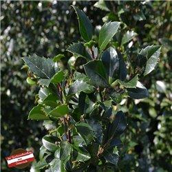 Stechpalme 'Heckenstar' 120-150cm, Heckenpflanzen günstig
