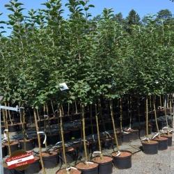 Apfel 'Bohnapfel' Halbstamm, Apfelbäume aus Österreich kaufen