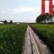 Kirschlorbeer Novita 80-100 cm im 3l Topf, Novita 70-90cm