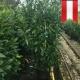Kirschlorbeer Novita 150-180 topfgewachsen