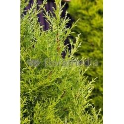 Gelbe Bastardzypresse Stammhöhe 50cm C7, Zypresse Hochstamm