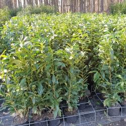 Kirschlorbeer Genolia 80-100 cm | CO 5 Liter