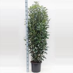 Kirschlorbeer Genolia 125-150 cm   CO 10 Liter