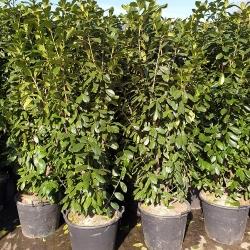 Kirschlorbeer Genolia 150-175 cm im 25 Liter Topf, Genolia