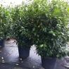 Kirschlorbeer Novita 225-250 Extra Qualität