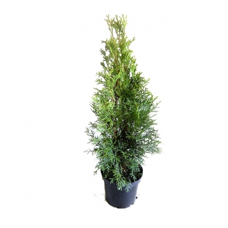 Smaragdthuje im Topf 40-60 Extra Qualität