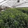 Kirschlorbeer Genolia 80-100 topfgewachsen