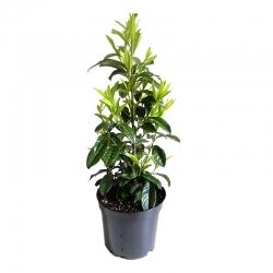 Kirschlorbeer Caucasica 60-80 Extra Qualität