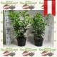 Kirschlorbeer Caucasica 60-80 topfgewachsen