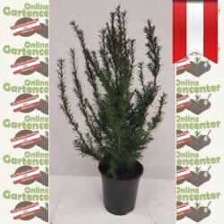 Taxus Baccata - heimische Eibe 40-50
