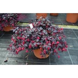 Fransen-Blume 40-50cm