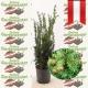 Taxus Media Hicksii - Fruchtende Becher Eibe 80+ topfgewachsen