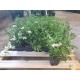 Spiraea japonica 'Shirobana' - Spiere kaufen