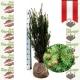 Taxus Media Hicksii - Fruchtende Becher Eibe 80-100 am Juteballen