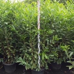 Kirschlorbeer Caucasica 150-175cm im 25l Topf