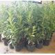 Kirschlorbeer Genolia 80-100 cm